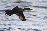 Harle couronné femelle en vol #2428.jpg