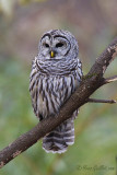 Chouette rayée - Barred Owl - 20 photos