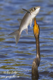 Anhinga  d'Amérique & poisson #6423 V.jpg