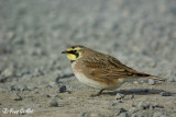 Alouette hausse-col - Horned Lark  - 4 photos