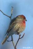 Roselin familier - House Finch - 3 photos