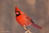 Cardinal rouge mâle #0520 - nuageux.jpg
