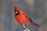Cardinal rouge mâle #0520.jpg