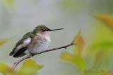 colibiri femelle  #2459.jpg