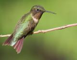Adult Male Ruby-Throated Hummingbird