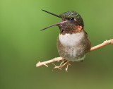 Adult Male Ruby-Throated Hummingbird - Open Beak