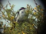 030106 f Diderick cuckoo Ladysmith.jpg