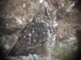 030107 g Cape eagle-owl Underberg-Sani Pass.jpg