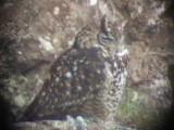 030107 hh Cape eagle-owl Underberg-Sani Pass.jpg