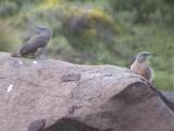 030107 ss Ground woodpecker Sani Pass.jpg