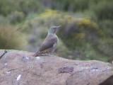 030107 sss Ground woodpecker Sani Pass.jpg