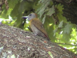 030108 mm Olive woodpecker Rob Guys trädgård.jpg