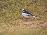 030110 e African pied wagtail St Lucia.jpg