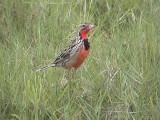 030111 h Rosy-throated longclaw Bonamanzi.jpg