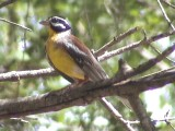030112 p Golden-breasted bunting Mkuze.jpg