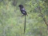 030115 dd Magpie shrike Kruger NP.jpg