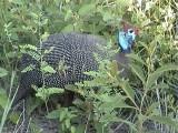 030116 a Helmeted guineafowl Kruger NP.jpg