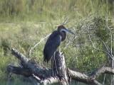 030116 bb Goliath heron Kruger NP.jpg