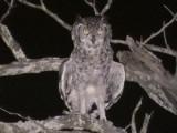030116 mm Spotted eagle-owl Kruger NP.jpg