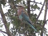 030117 hh Lilac-breasted roller Kruger NP.jpg