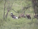 030117 i White-headed vulture Kruger NP.jpg
