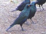 030117 l Greater blue-eared starling Kruger NP.jpg