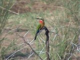 030117 xx White-fronted bee-eater Kruger NP.jpg