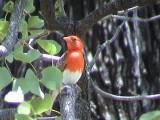 030118 hh Red-headed weaver Kruger NP.jpg