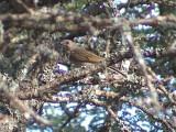 030121 b Lesser honeyguide Nylsvlei.jpg