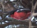 030122 c Crimson-breasted shrike Sandveld.jpg