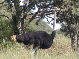 030122 ff Common ostrich Sandveld.jpg