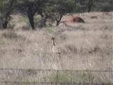 030123 d Kori bustard Kimberley-Pofadder.jpg