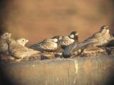 030124 c Grey-backed sparrowlark Red dunes Pofadder.jpg