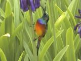 030128 aa Orange-breasted sunbird Kirtstenbosch Cape town.jpg