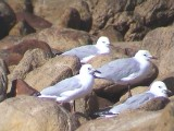 030128 k Hartlaubs gull Cape of good hope.jpg