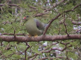 African green pigeon.jpg