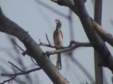 African grey hornbill1.jpg
