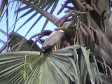 African harrier hawk.jpg