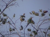 Blue-cheeked bee-eater.jpg