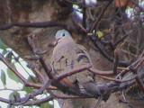 Blue-spotted wood dove1.jpg