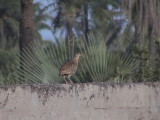 Double-spurred francolin.jpg