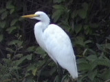 Great white egret1.jpg