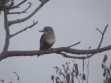 Grey-headed kingfisher.jpg