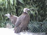 Hooded vulture.jpg