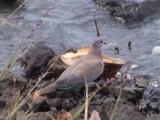 Laughing dove.jpg