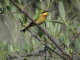 Little bee-eater2.jpg