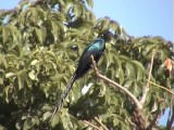 Long-tailed glossy starling1.jpg