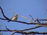 Pin-tailed whydah.jpg