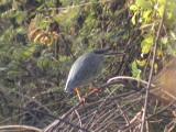 Striated heron2.jpg