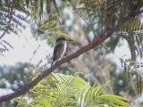 Striped kingfisher1.jpg